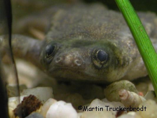Hymenochrius Männchen / male